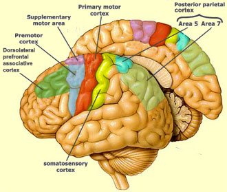 Brain diagram.