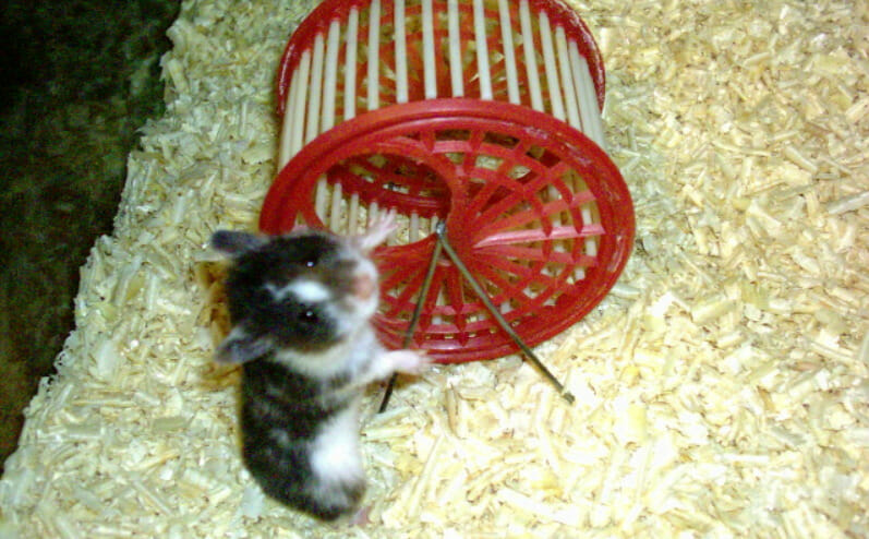 hamster next to wheel.